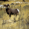 Bighorn Sheep (ovis Canadensis) by Altrendo Nature
