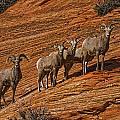 Bighorn Sheep, Zion National Park, Utah by Robert Postma