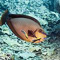 Bignose Unicornfish by Georgette Douwma