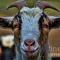 Billy Goat by Paul Ward