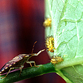 Biocontrol Of Bean Beetle by Science Source