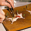 Biology Lesson: Gloved Hands Dissecting A Mouse by Sinclair Stammers