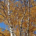Birch Beauty by Anita Burgermeister