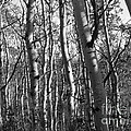 Birch by David Bearden