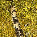 Birch Forest In Finland by Heiko Koehrer-Wagner