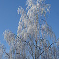 Birch In Frost. by Ausra Huntington nee Paulauskaite