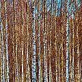 Birch by Art Dingo