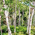 Birch Path by Greg Fortier