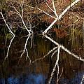 Birch Reflections by LeeAnn McLaneGoetz McLaneGoetzStudioLLCcom
