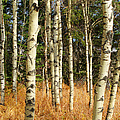 Birch Tree Abstract by Randy Harris