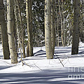 Birch Trees In Snow by Jim And Emily Bush