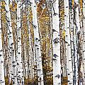 Birch Trees No.0644 by Randall Nyhof