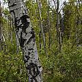 Birch Trees by Paul M Littman