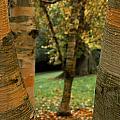 Birches In Autumn by David Resnikoff