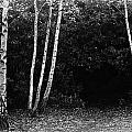 Birches In Black And White by David Resnikoff