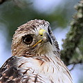 Bird - Red-tailed Hawk - Bashful by Travis Truelove