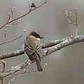 Bird - Eastern Phoebe - Very Contented by Travis Truelove
