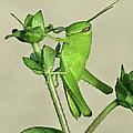 Bird Grasshopper Nymph by Peg Urban