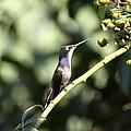 Bird - Hummingbird - The Observer by Travis Truelove