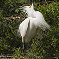 Bird Mating Display - Snowy Egret  by Bill Swindaman