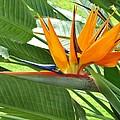 Bird Of Paradise by Craig Wood