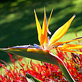 Bird Of Paradise by Diana Haronis