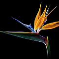 Bird Of Paradise by Endre Balogh