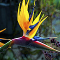 Bird Of Paradise by Patricia Griffin Brett