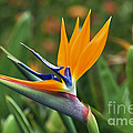 Bird Of Paradise by Teresa Zieba