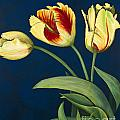 Bird Of Paradise Tulips by Konnie Laumer
