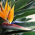 Bird Of Paridise by Tricia Leonard PhD