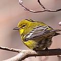Bird - Pine Warbler - Detail by Travis Truelove