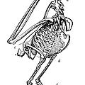 Bird Skeleton by Granger