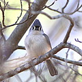 Bird - Tufted Titmouse - Busted by Travis Truelove