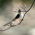 Bird - Tufted Titmouse - Wind Rider by Travis Truelove