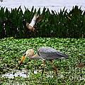 Birding Action At Circle B Bar Reserve by Barbara Bowen