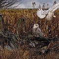 Birds Of Bc - No.14 - Snowy Owl Fly By by Paul W Sharpe Aka Wizard of Wonders