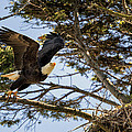 Birds Of Bc - No.27 - Bald Eagle - Haliaeetus Leucocephalus by Paul W Sharpe Aka Wizard of Wonders