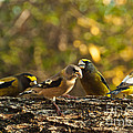 Birds Of Yellow by Cheryl Baxter