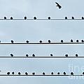 Birds On A Wire by John Greim