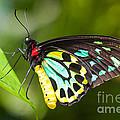 Birdwing Butterfly by Johan Larson