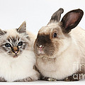 Birman Cat And Colorpoint Rabbit by Mark Taylor