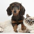 Birman Cat And Dachshund by Mark Taylor