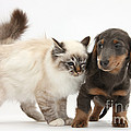 Birman Cat And Dachshund Puppy by Mark Taylor