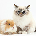 Birman Cat And Frizzy Guinea Pig by Mark Taylor