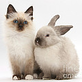 Birman-cross Kitten And Young by Mark Taylor