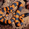 Bismarck Ringed Python Liasis Boa by Michael & Patricia Fogden