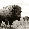 Bison And Calf by Olivier Le Queinec