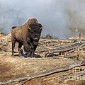 Bison And Geyser by James Anderson
