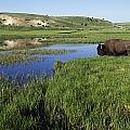 Bison At Edge Of Pool, Hayden Valley by David Ponton